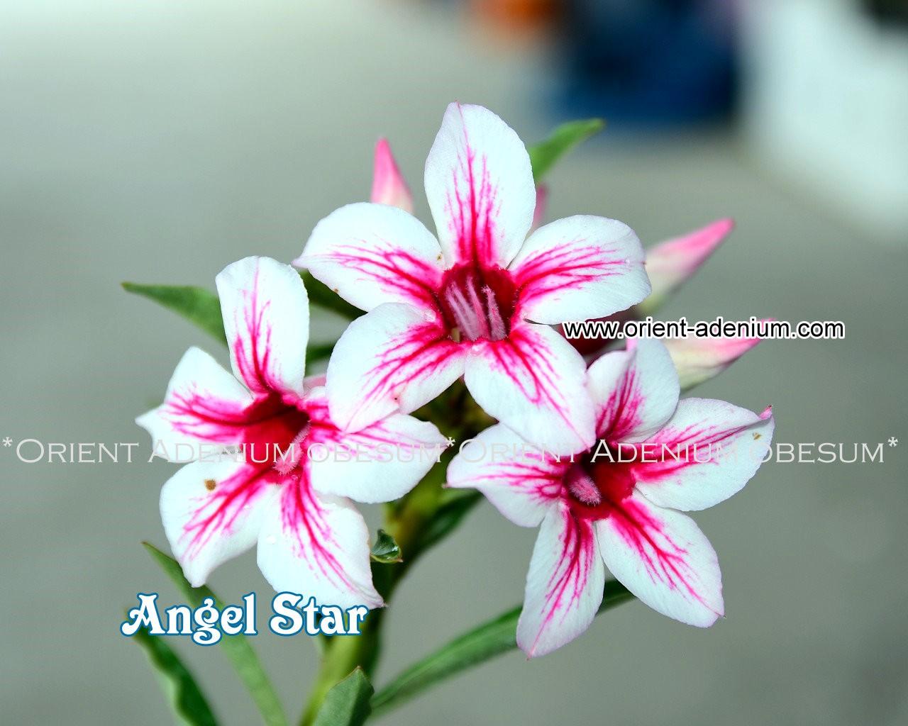 Привитый адениум Angel Star