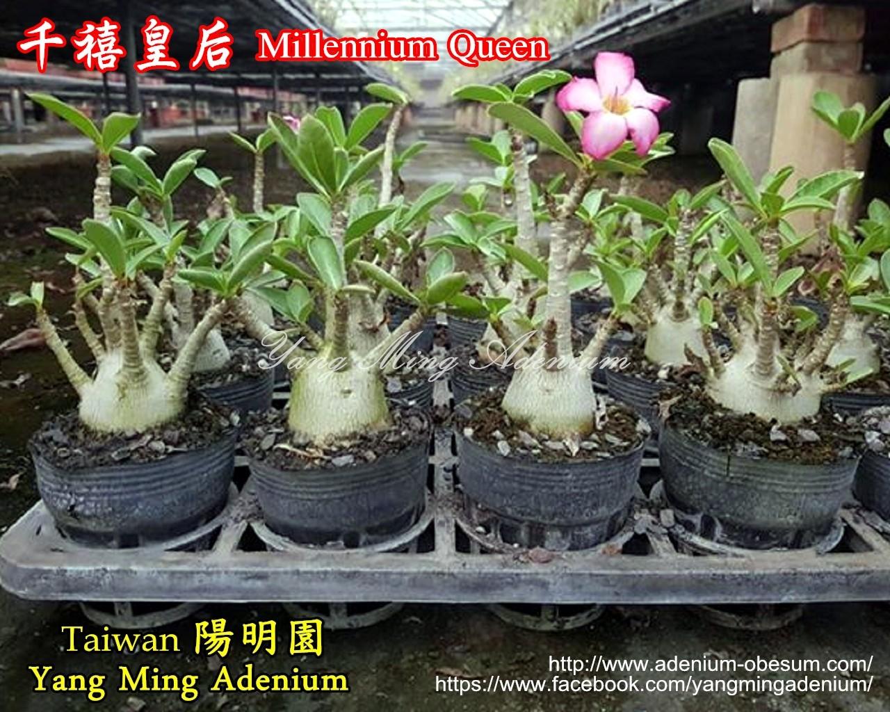 Корнесобственный адениум Arabicum Millennium Queen