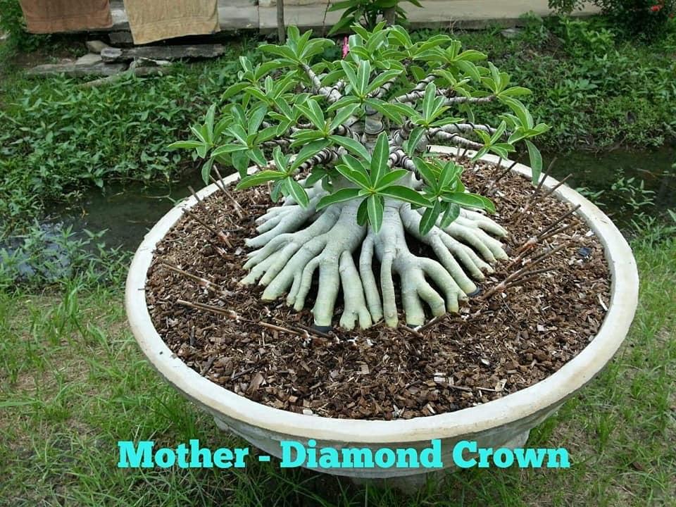 Адениум Тай Сокотранум Diamond Crown