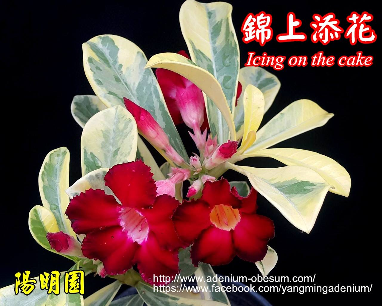 Прививка Icing On The Cake (Variegated leaves single RED flower)