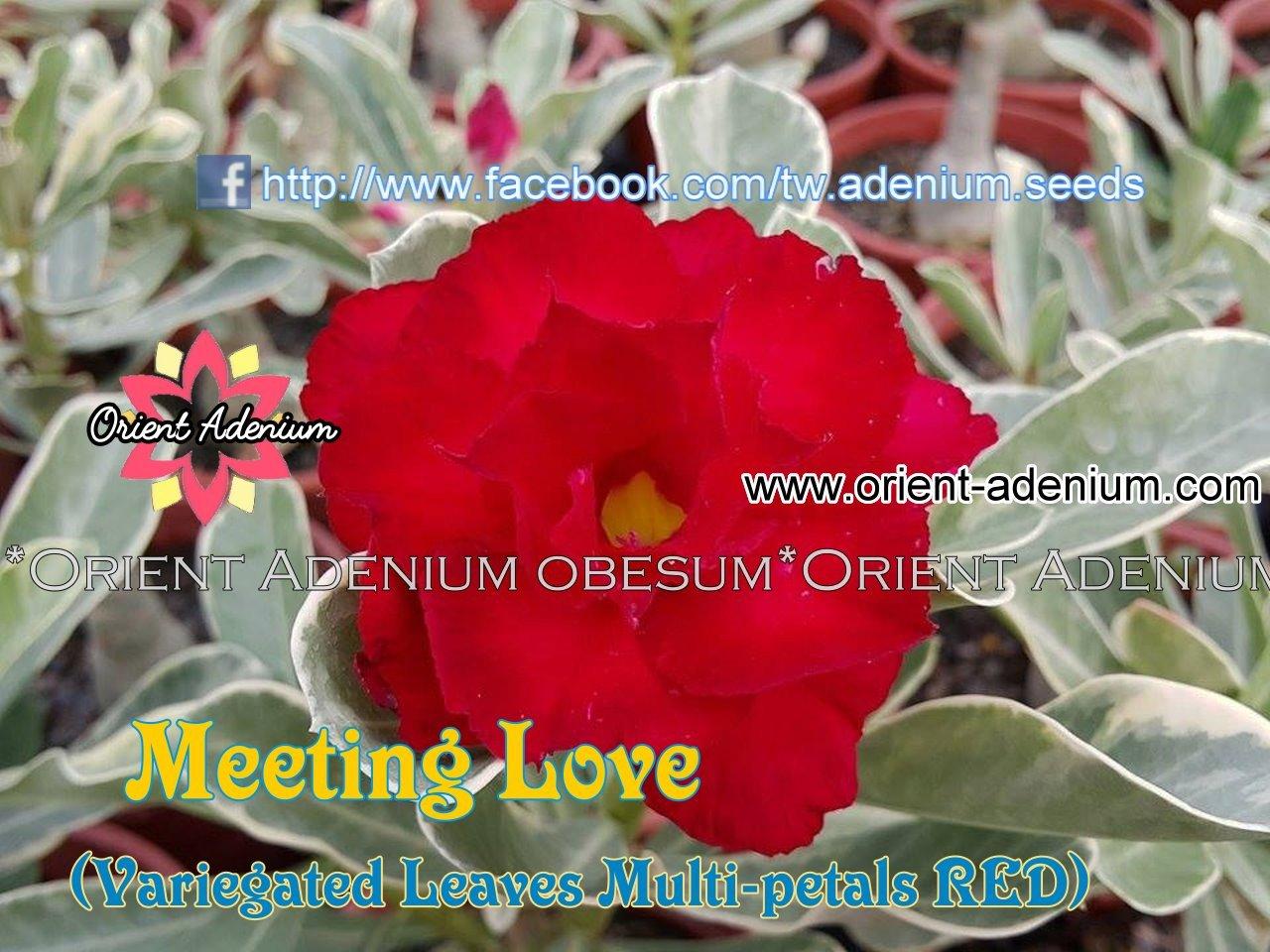 Привитый адениум Meeting Love Variegated (Meet The Love)