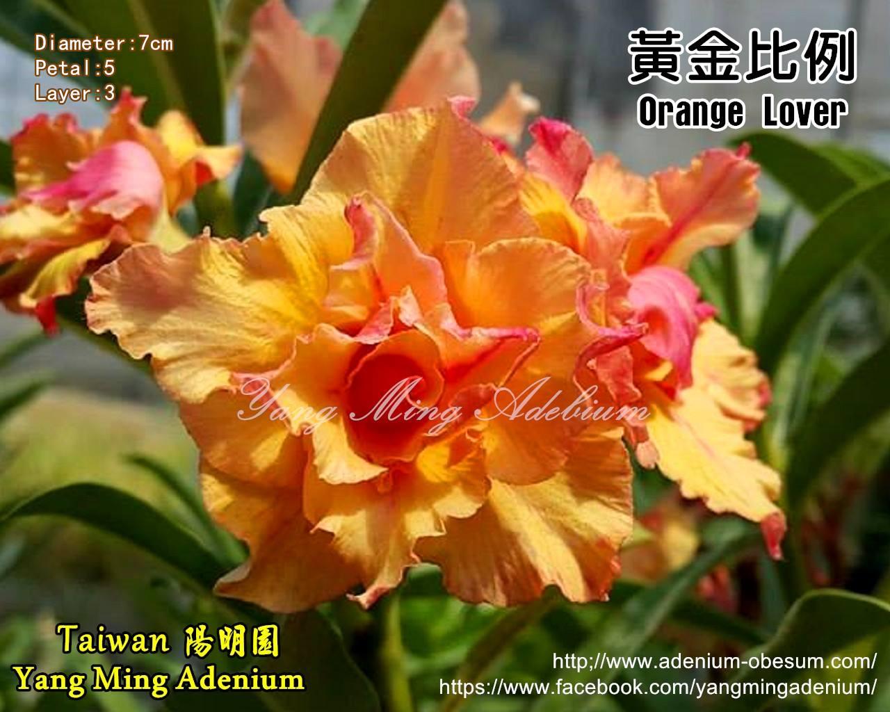 Привитый адениум Orange Lover