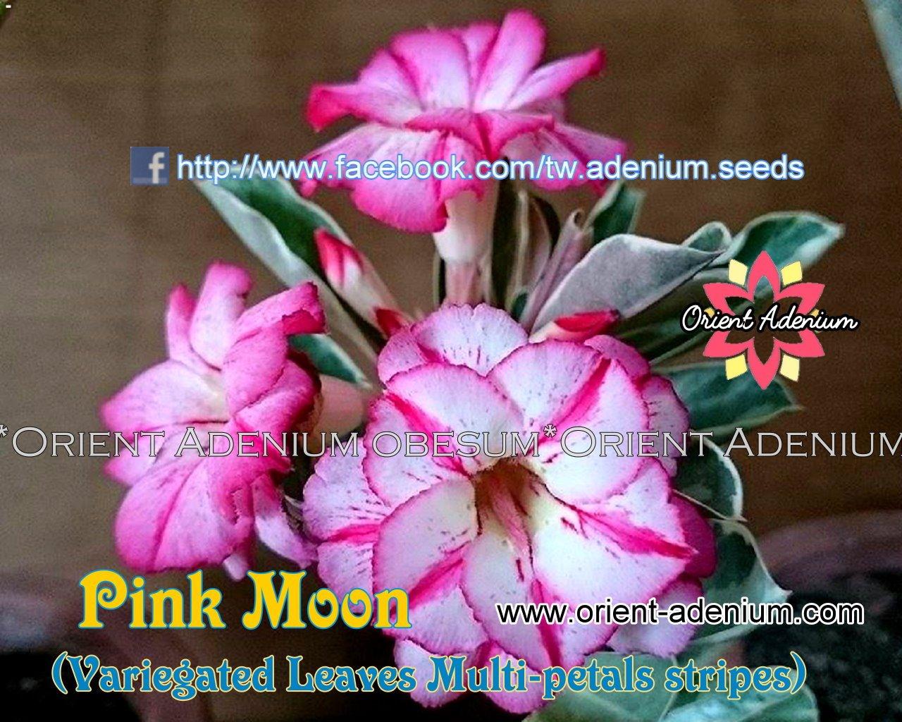 Привитый адениум Pink Moon Variegated