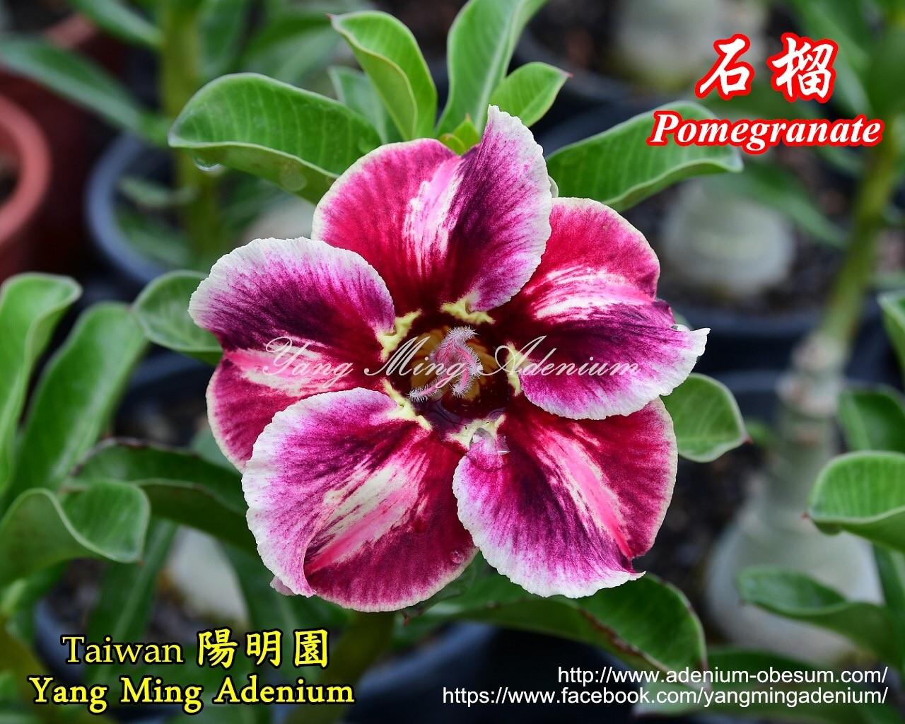 Привитый адениум Pomegranate