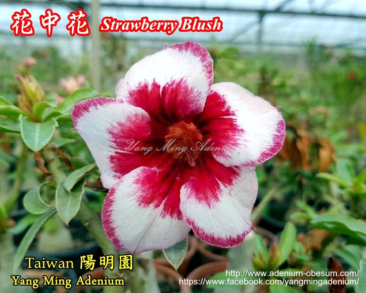 Привитый адениум Strawberry Blush