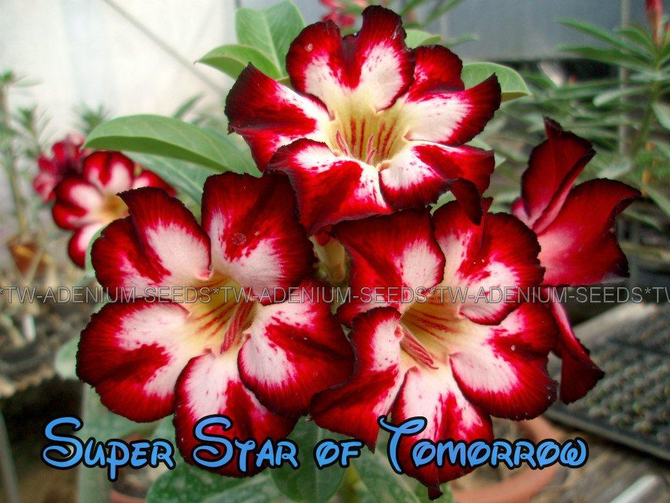 Привитый адениум Super Star of Tomorrow