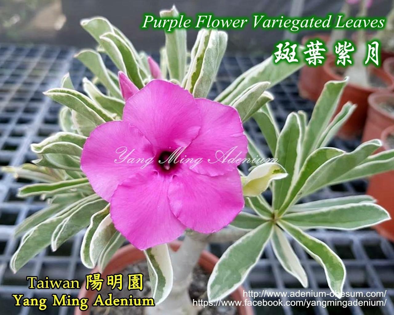Прививка Swazicum Variegated Leaves Purple Flower