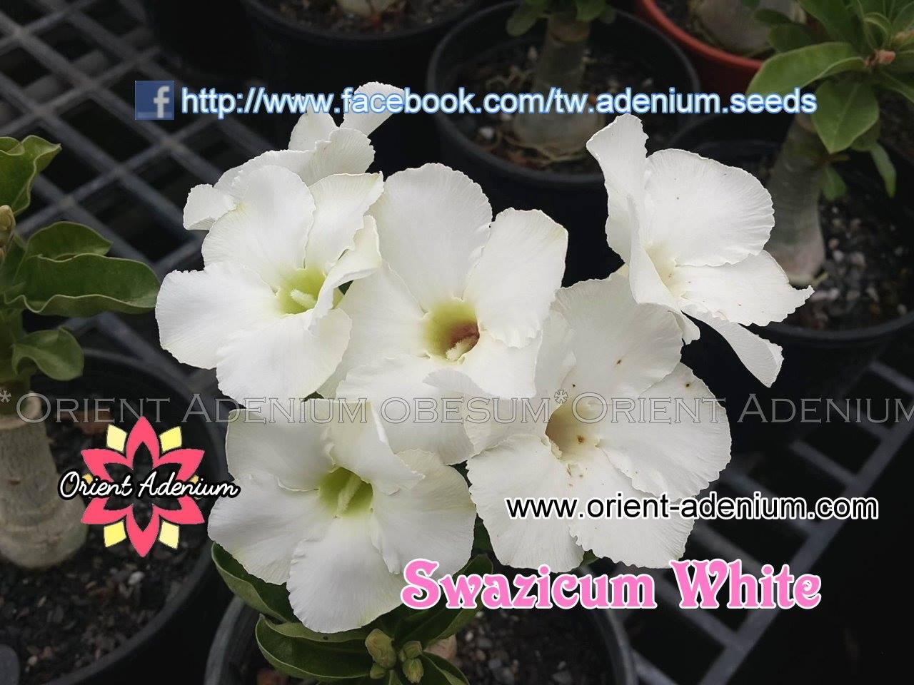 Привитый адениум Swazicum White