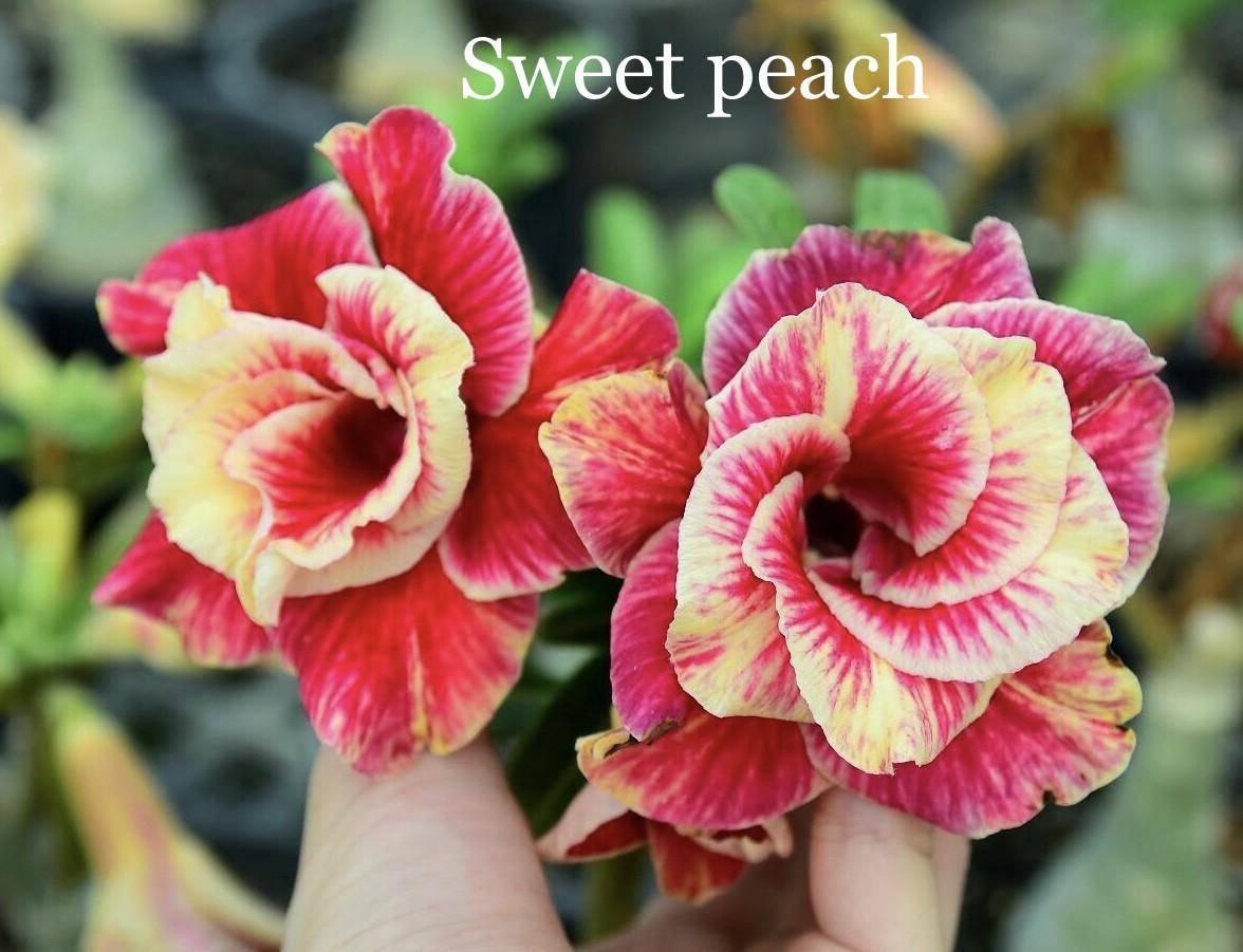 Привитый адениум Sweet Peach