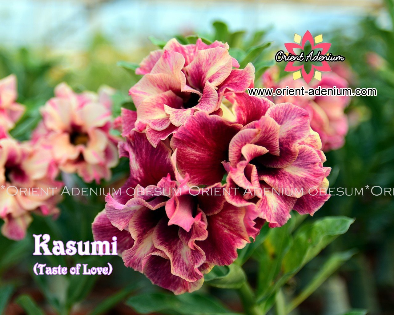Адениум Тучный Kasumi (Taste of Love)