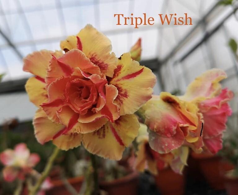 Привитый адениум Triple Wish