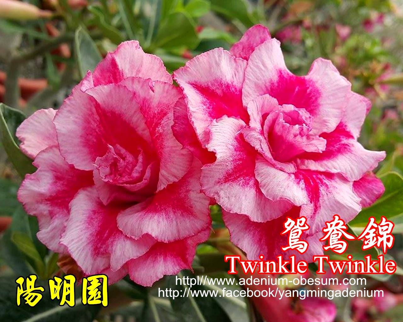 Привитый адениум Twinkle Twinkle