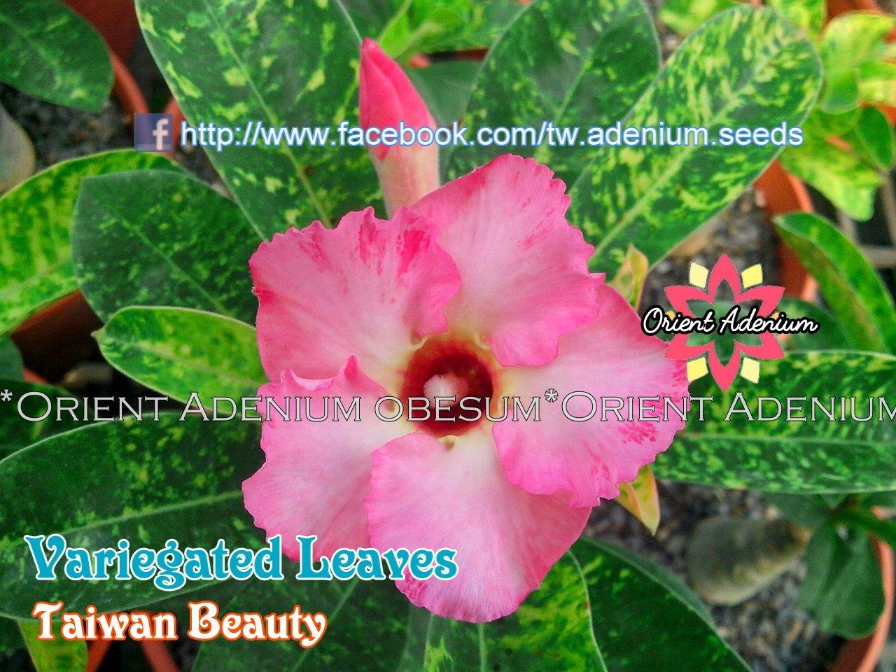 Прививка Variegated Leaves Taiwan Beauty