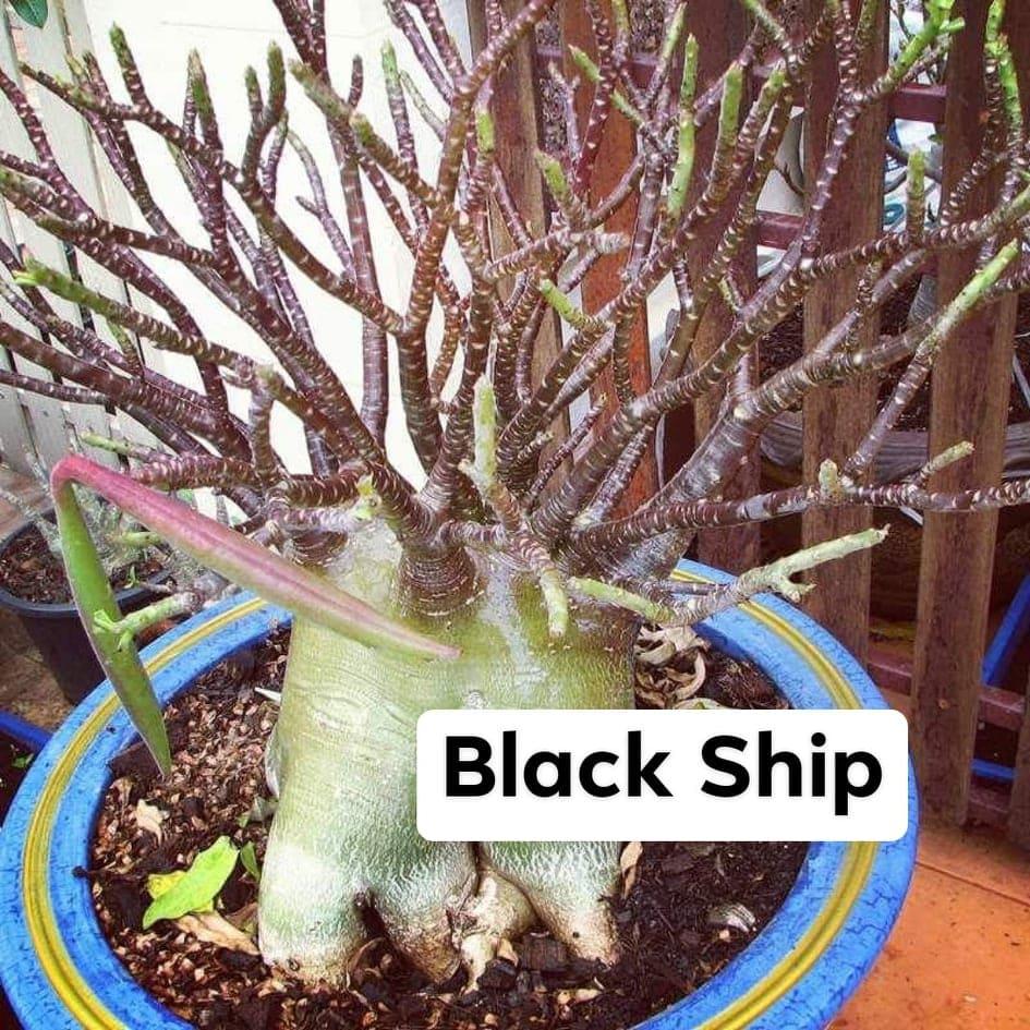Адениум Арабикум Black Ship