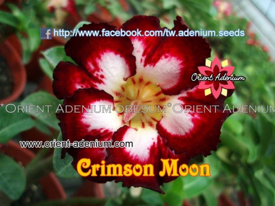 Адениум Тучный Crimson Moon