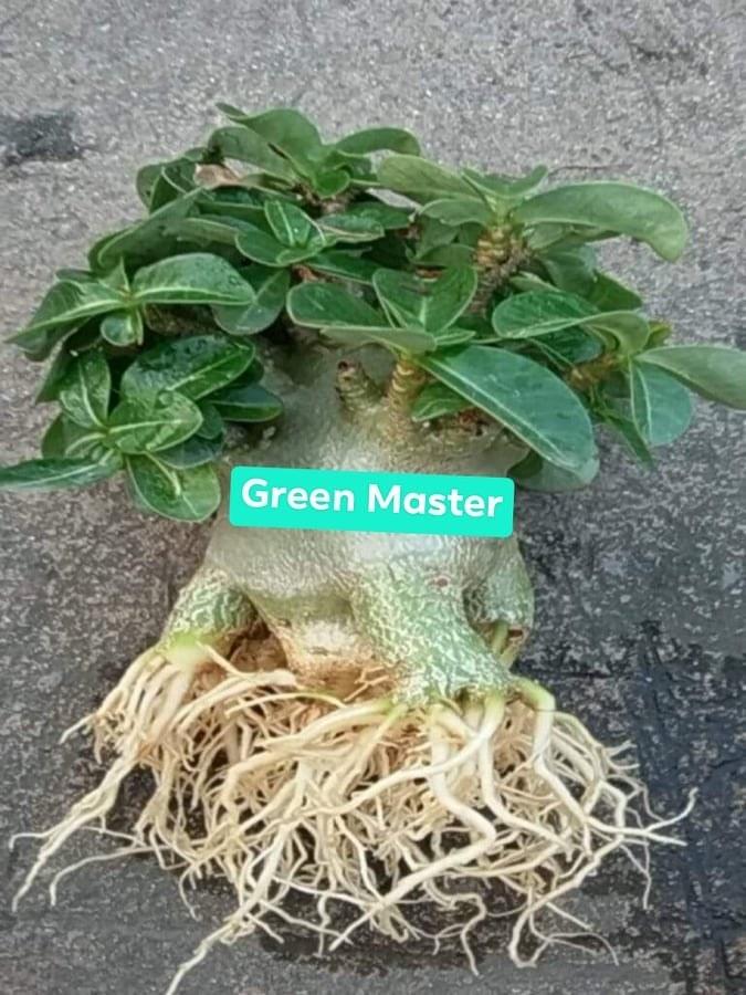 Адениум Арабикум Green Master