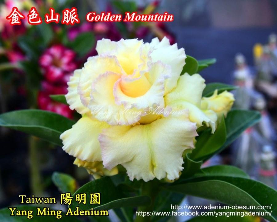 Адениум Тучный Golden Mountain