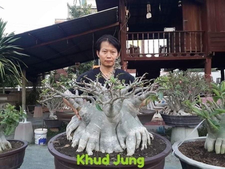 Адениум Арабикум Kud Jung