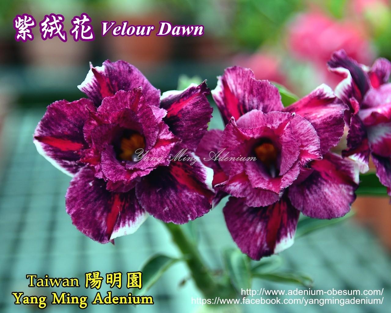 Привитый адениум Velour Dawn